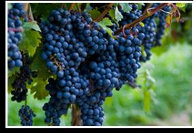 Wine/cabernet Sauvignon