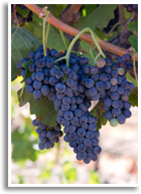 Wine/malbec