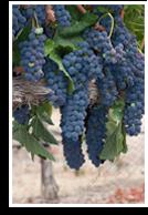 Wine/shiraz Syrah