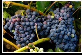 Wine/zinfandel